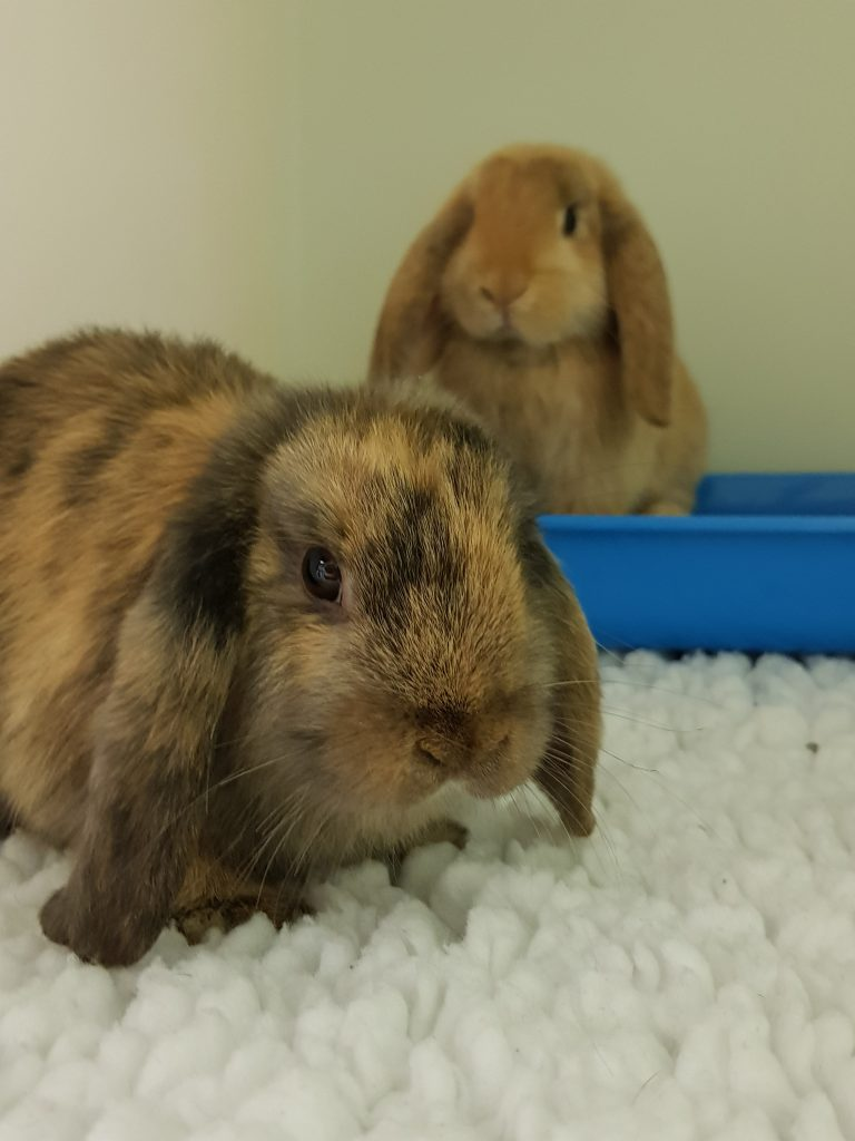 Rabbits in Petcare Vets