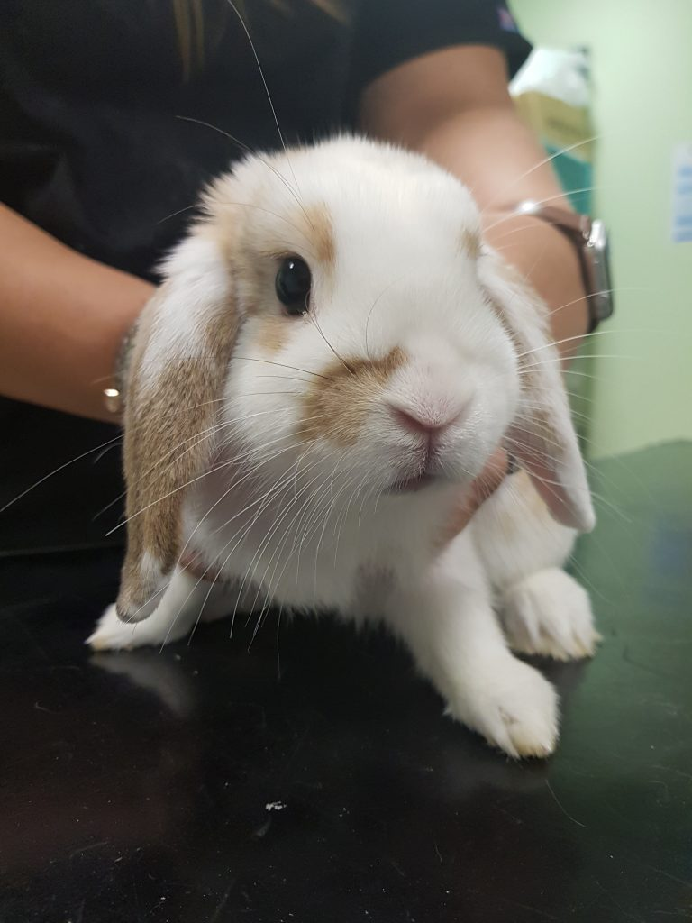 rabbit in vets